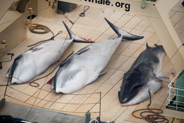 122 Pregnant Whales Were Killed in Japan's Latest Hunt. Was This Illegal?