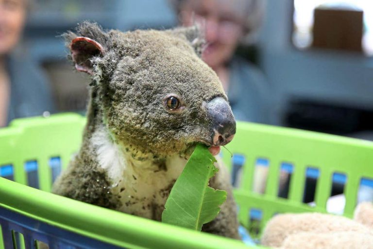 Forest fires have killed more than 2,000 koalas in Australia
