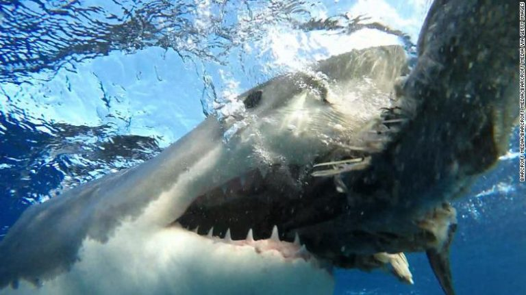 Great white shark follows police off Australian coast