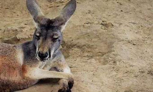 Kangaroo Pelted With Rocks Dies in Chinese Zoo, and Fury Flies