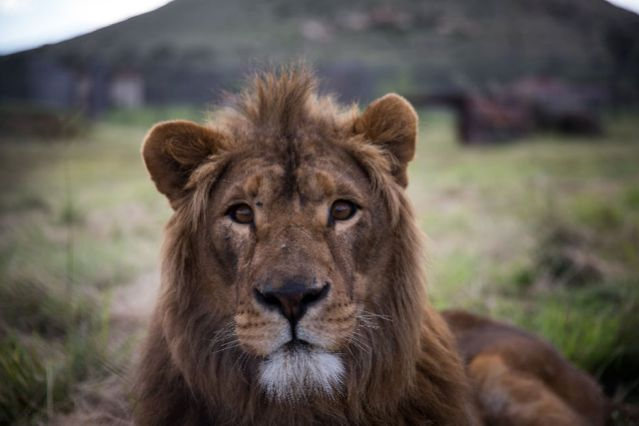 Lions are being poisoned in Uganda's National Park