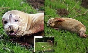 Lost seal spotted in field 50 miles from the sea