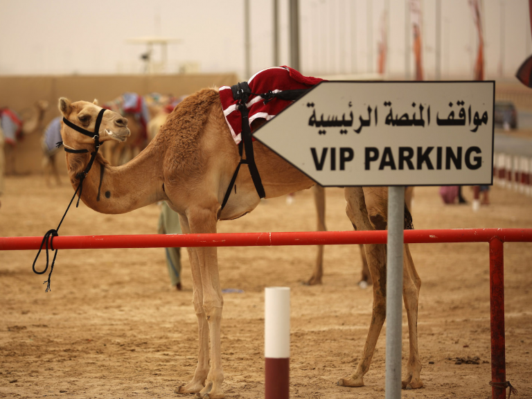 Botox for Camels? At Saudi Arabia Beauty Pageant, That's a Big No-No