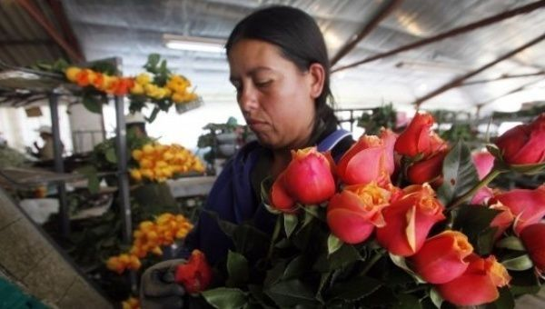 Colombia's cash crop: Flowers for Valentine's