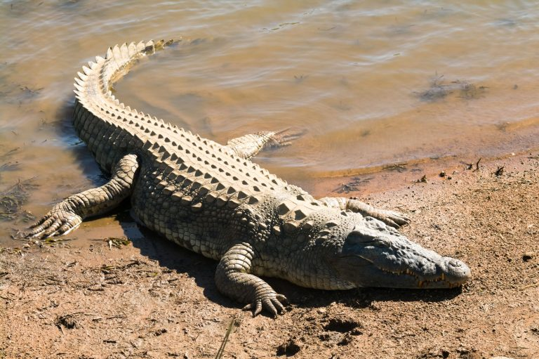 Face to face with a crocodile while collecting its eggs