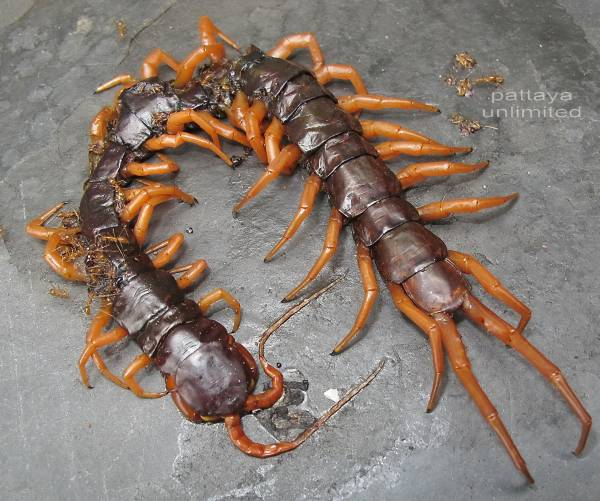 How giant centipede tricks its prey into dying