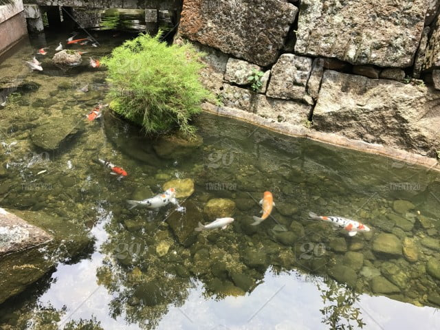 Koi fish beauty contest in Japan