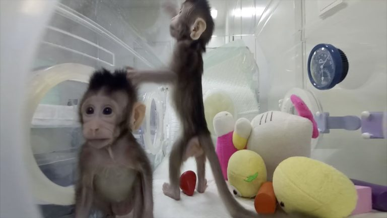 Monkey clones made using Dolly the Sheep method