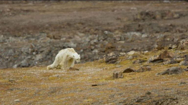 Video of Starving Polar Bear 'Rips Your Heart Out of Your Chest'