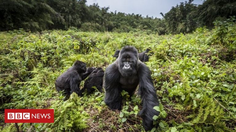 Poacher sentenced to 11 years in prison for killing a mountain gorilla in a Ugandan national park