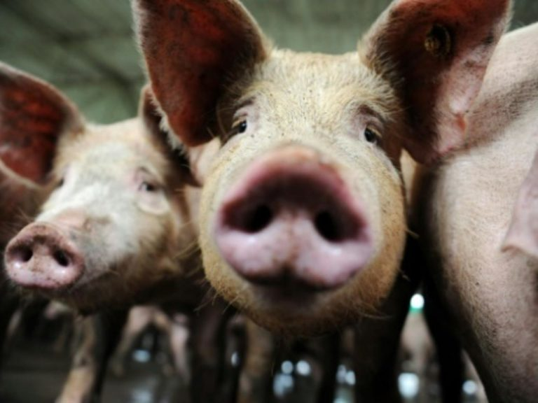 "Should we find a new ""pandemic virus"" in pigs?"