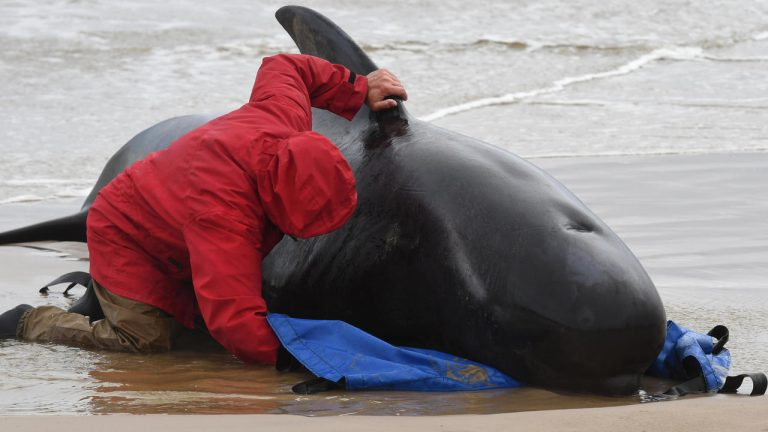 Another 200 pilot whales remain stranded in Tasmania