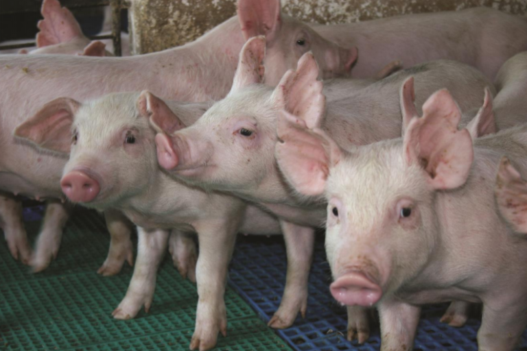 South Korea confirms the swine fever outbreak and slaughters around 1,500 pigs to curb expansion